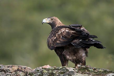 Hide Águila Real, El Millarón