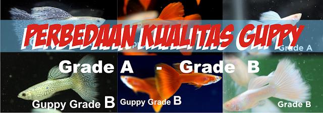 Perbedaan Kualitas Guppy, Perbedaan Grade Guppy