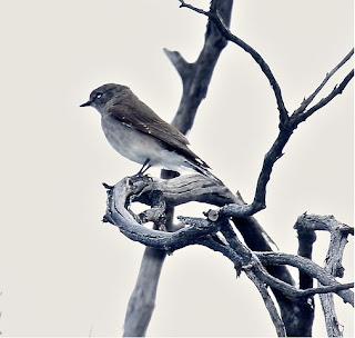 Jacky Winter, Butcherbird - photo by Tony Castro