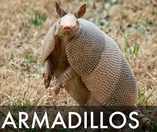 armadillos leprosy