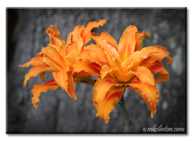 Orange ruffled day lilies