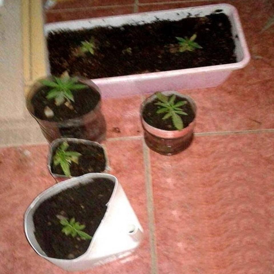 Secuestran plantas de marihuana