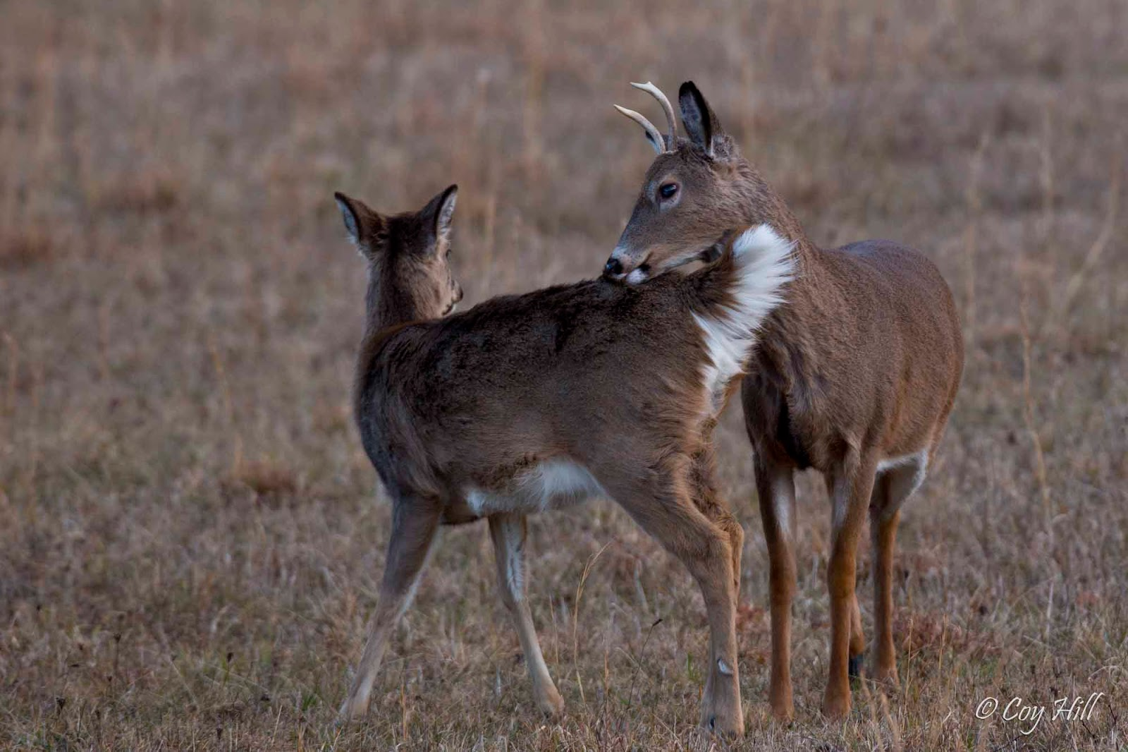 Country Captures: Whitetail Breeding Continues  Country Capture...