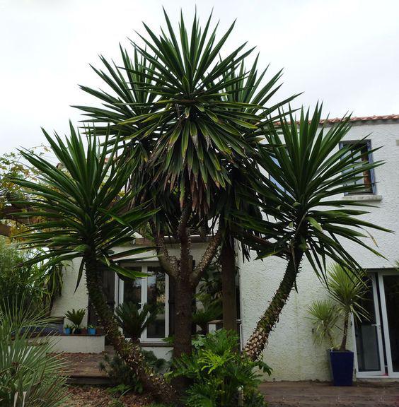 Yucca gigantea for Yucca elephantipes exterieur