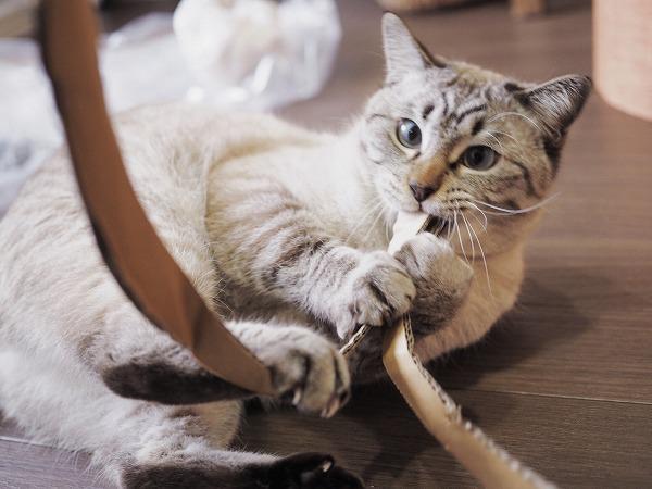 梱包用ダンボールにじゃれて遊ぶシャムトラ猫