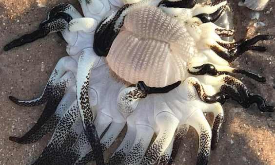 Παράξενο θαλάσσιο πλάσμα βρέθηκε στην Αυστραλία!
