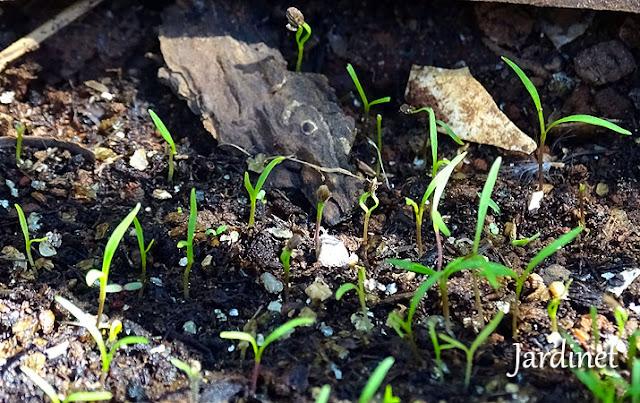 Germinação das sementes de cenoura baby