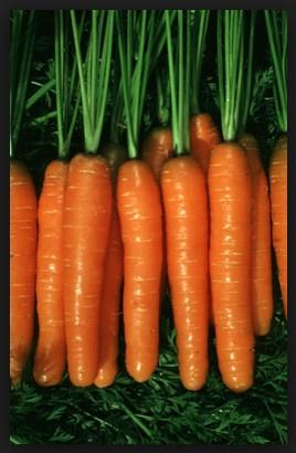 Klasifikasi Wortel : klasifikasi, wortel, Sejarah, Biologi:, Morfologi, Tumbuhan, Wortel, Sejenis