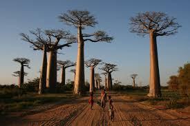 Mete originali vacanze single: viale dei Baobab, Madagascar