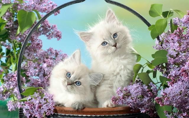 Twee witten katten tussen de bloemen
