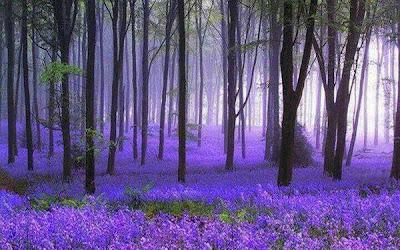 El bosque morado en Alemania