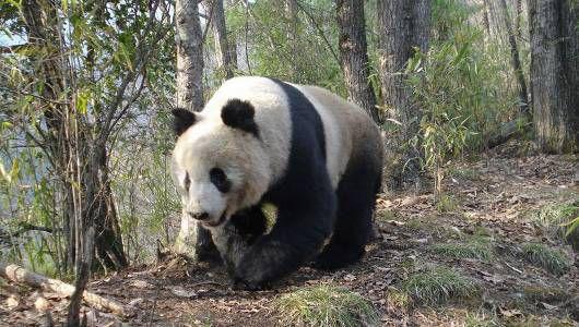 Dev Pandalar Hakkında