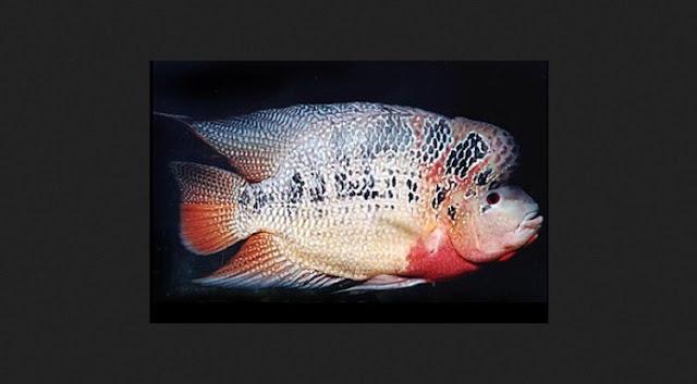 Dunia Ikan Hias - IKAN LOUHAN STROM