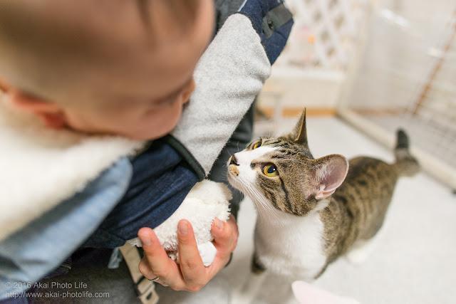 猫カフェ西国分寺シェルターにいた子供好きのサバトラが赤ちゃんのことを近くで見ている写真