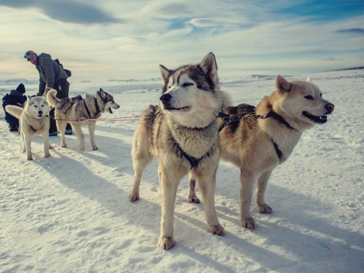 grenlandzkie husky, Islandia, psi zaprzęg, dogsledding, lodowiec, śnieg, zima, krajobraz