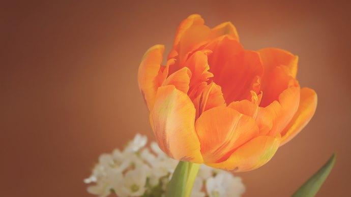 Wallpaper: Orange Tulip Premium Flower Image