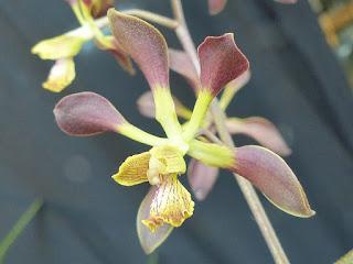 Encyclia alata subsp. parviflora - Encyclia parviflora