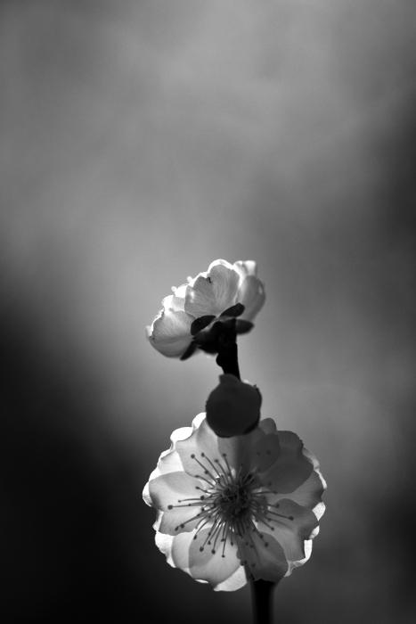 大乗寺丘陵公園の梅