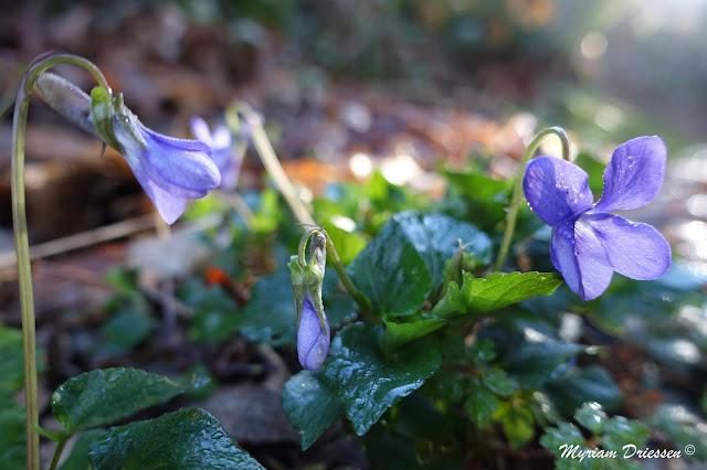 violettes dans la Montagne Noire Tarn