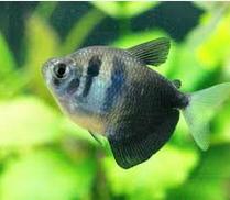 Jenis Ikan Hias Air Tawar Blac Tetra