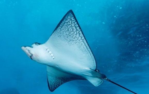 Ikan Pari atau nama saintifiknya Gymura spp Kabar Terbaru- IKAN PARI