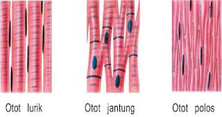 gambar Otot lurik, otot jantung dan otot polos