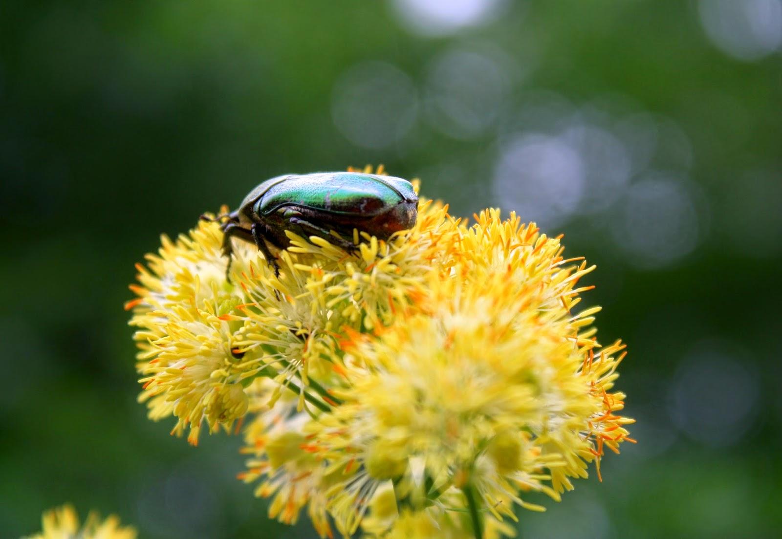 Guldbaggar i langa banor
