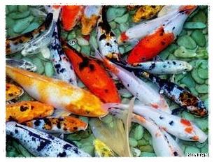 Gambar Ikan Koi | Dunia Binatang