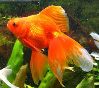 Аквамир: Вуалехвостая золотая рыбка