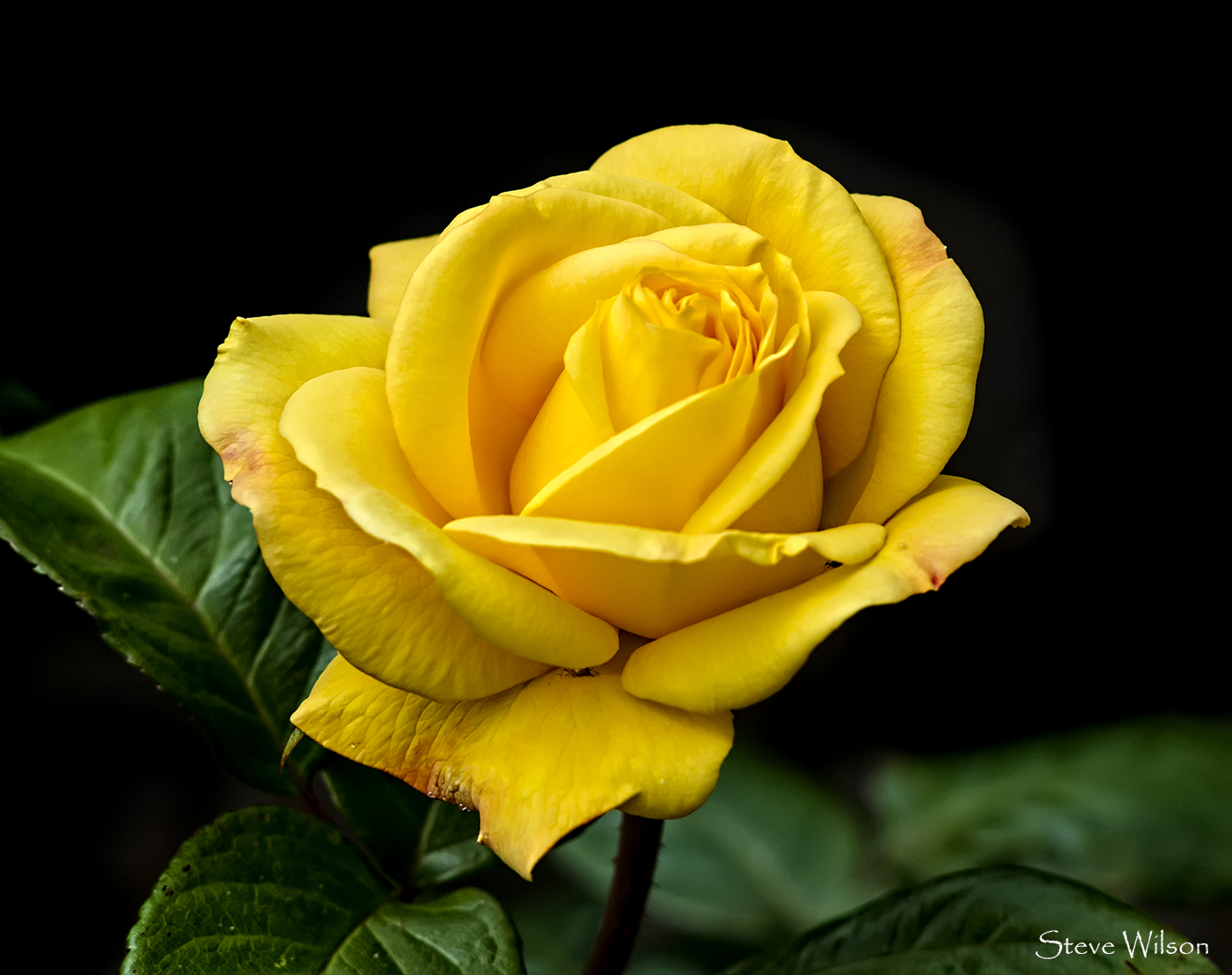 Yellow Roses Images Pics Wallpaper Photos Bouquet In Hd Free