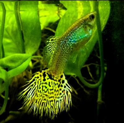 Jenis ikan hias guppy cobra