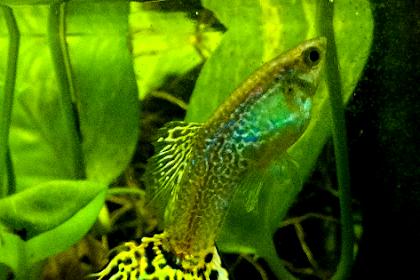 Ikan Guppy Cobra, Si Kecil yang Nyentrik dan Menawan