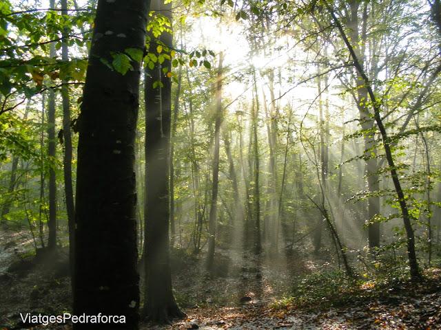 Fageda d'en Jorda a la tardor contrallum Parc natural de la Zona Volcanica de la Garrotxa