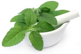 holy basil(tulsi) health benefits in urdu