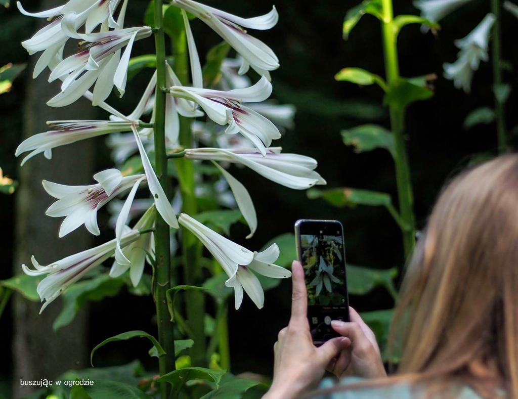 lilia olbrzymia, lilia himalajska
