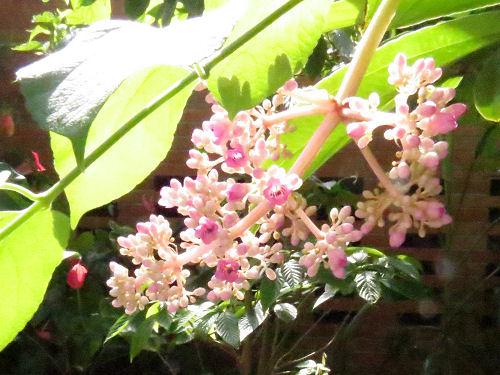Malaysian Orchid Tree