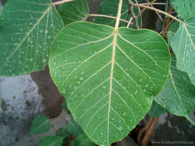 Image: Raindrops on Peepal Leaves