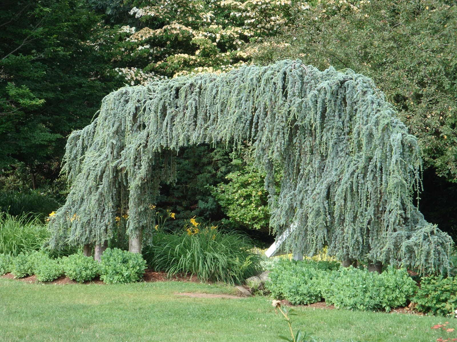 weeping blue atlas cedar - Weeping Blue Atlas Cedar Monrovia