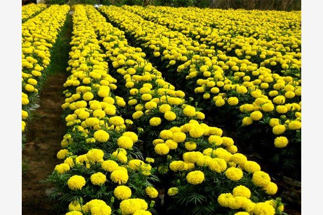 Các bài thuốc Nam hay từ những loài hoa cảnh