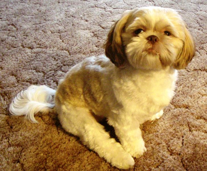 Shih Tzu Puppies What Should You Look