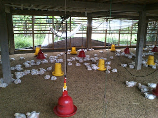 Manajemen Usaha Ayam Broiler (survey)