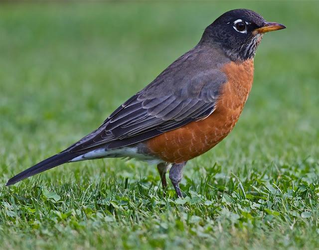 american robin photos