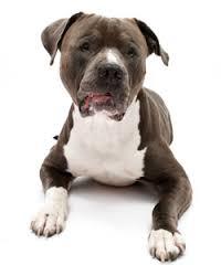 Anjing Ras Pit Bull