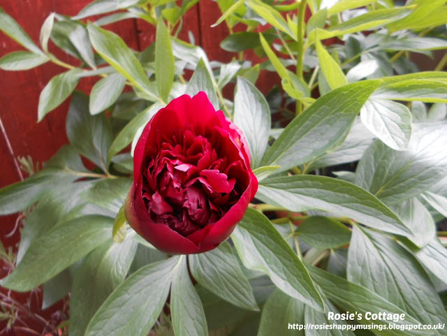 Pride comes before a fall indeed! The peonies were squirrel attacked just as the first beautiful rose had begun to bloom