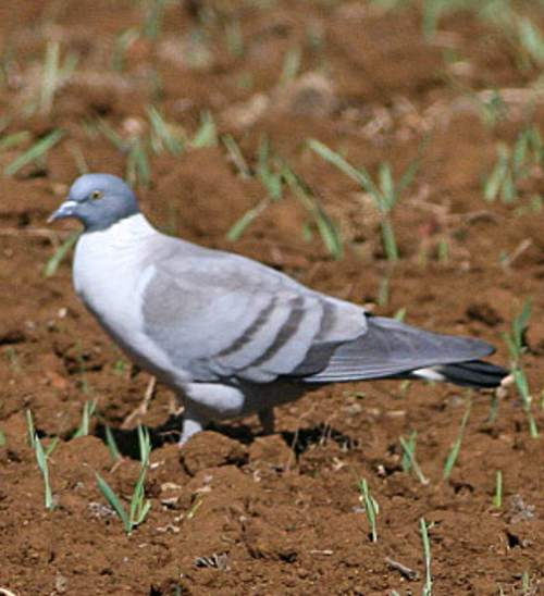 Indian birds - Snow pigeon - Columba leuconota