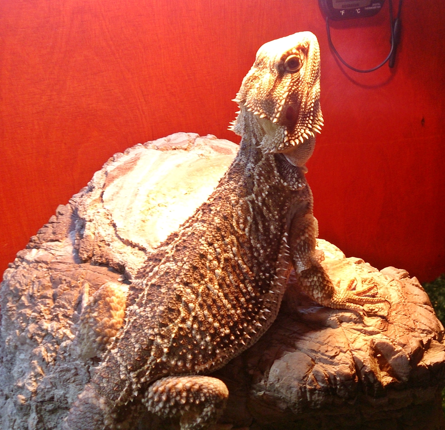 Bearded Dragon Care: Bearded Dragon Impaction