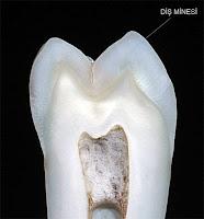Ortadan kesilmiş bir diş kesitinde diş minesinin gösterimi
