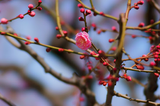 red-blossomed plum tree