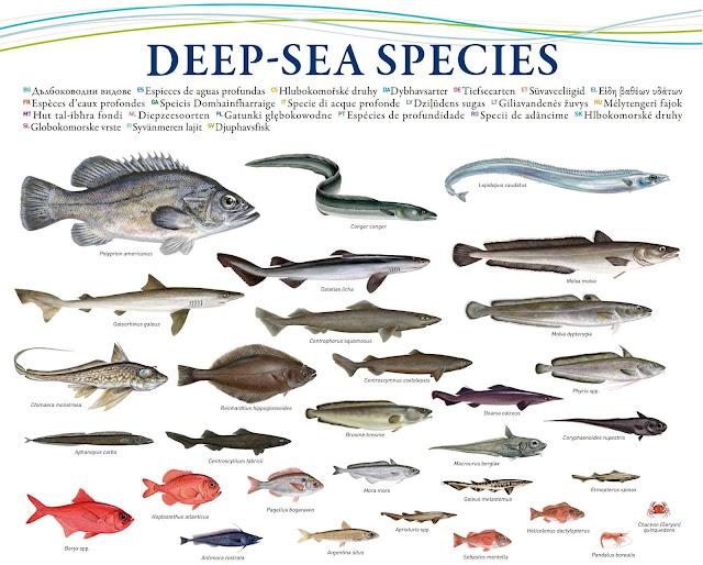 P che profonde grenelle de la mer et vogue la gal re - Grand poisson de mer ...