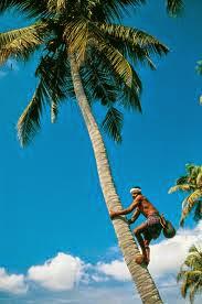 Kerala Tourism: Coconut Climbing in Kerala